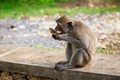 Apor i Bali Fotografering för Bildbyråer