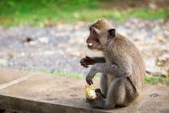 Apor i Bali Arkivbilder