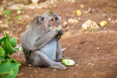 Apor i Bali Royaltyfria Bilder