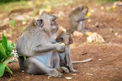 Apor i Bali Royaltyfri Fotografi