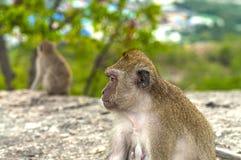 Apor i bergen Arkivfoton