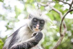 Apor i den naturliga livsmiljön i trädeftermiddagen primat Royaltyfria Foton