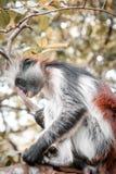 Apor i den naturliga livsmiljön i trädeftermiddagen primat Arkivfoto