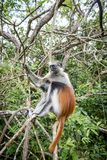 Apor i den naturliga livsmiljön i trädeftermiddagen primat Arkivbilder