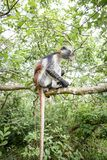 Apor i den naturliga livsmiljön i trädeftermiddagen primat Royaltyfria Bilder