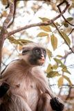 Apor i den naturliga livsmiljön i trädeftermiddagen primat Royaltyfri Bild