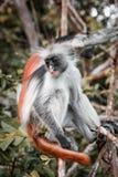 Apor i den naturliga livsmiljön i trädeftermiddagen primat Fotografering för Bildbyråer