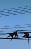 Apor i elektricitetslinjen Royaltyfri Bild