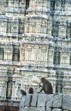 Apor i Hampi, Indien royaltyfri bild