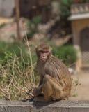 Apor i Jaipur royaltyfri fotografi