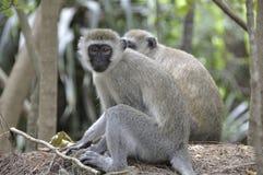 Apor i Mombasa ` s Haller parkerar Fotografering för Bildbyråer