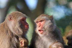 Apor i Shoushan, apaberg i den Kaohsiung staden, Taiwan Arkivfoto