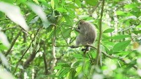 Apor i skogen i Bali lager videofilmer