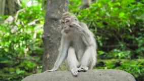 Apor i skogen i Bali stock video