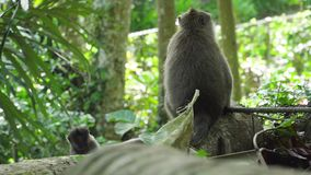 Apor i skogen i Bali arkivfilmer