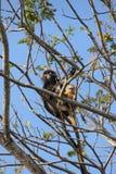 Apor i träd Royaltyfri Bild