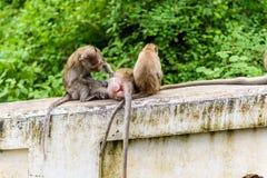 Apor (krabba som äter macaquen) som ansar sig Royaltyfria Foton