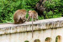 Apor (krabba som äter macaquen) som ansar sig Arkivbild