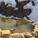 Apor onsen Arkivfoton