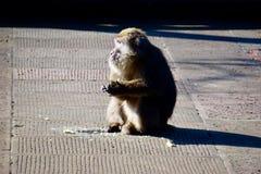 Apor ordnar till för att äta i morgonsolen royaltyfria foton