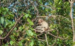 Apor på ön Koh Ped Royaltyfria Bilder