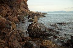 Apor på den steniga kusten Fotografering för Bildbyråer