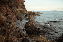 Apor på den steniga kusten Royaltyfria Bilder
