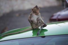 Apor på en hätta Arkivfoton