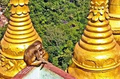 Apor på templet, montering Popa, Myanmar arkivfoton