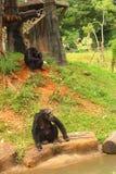 Apor på trädet i natur på zoo Fotografering för Bildbyråer