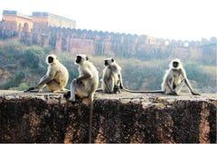 Apor på väggen Royaltyfri Fotografi