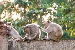 Apor som kontrollerar för loppor och fästingar på det konkreta staketet i PA Royaltyfri Foto
