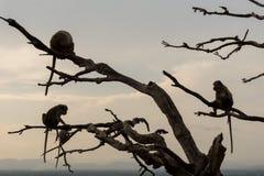 Apor som spelar på ett träd royaltyfri bild