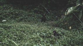 Apor som spelar på gräset Arkivbilder