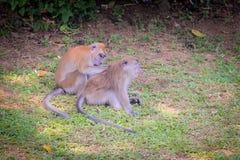 Apor som tillbaka skrapar av andra Royaltyfri Fotografi