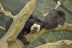 apor som vilar två arkivfoto