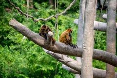 Apor svängande primat Royaltyfri Bild
