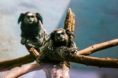 Apor svart-tufted vit silkesapa Fotografering för Bildbyråer