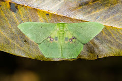 Aporandria specularia moth on dried leaf Royalty Free Stock Photography