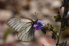 aporia黑色蝴蝶crataegi成脉络的白色 免版税库存图片