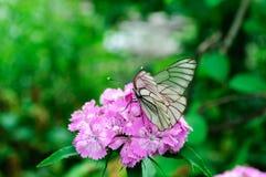 Aporia bianco Crataegi della farfalla sul barbatus rosa del dianthus immagine stock
