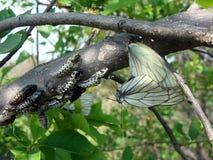 Aporia Crataegi的图象 库存图片