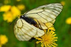 Aporia Crataegi πεταλούδων elecampane λουλουδιών Στοκ φωτογραφία με δικαίωμα ελεύθερης χρήσης
