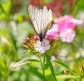 Aporia Crataegi πεταλούδων στο barbatus Dianthus Στοκ φωτογραφίες με δικαίωμα ελεύθερης χρήσης