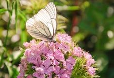 Aporia Crataegi πεταλούδων στο barbatus Dianthus Στοκ Φωτογραφίες