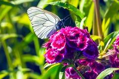Aporia Crataegi бабочки на красном цветке Стоковые Фото