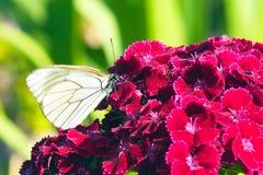 Aporia Crataegi бабочки на красном цветке Стоковое Изображение RF