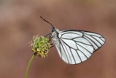 Aporia crataegi , the black-veined white butterfly , butterflies of Iran
