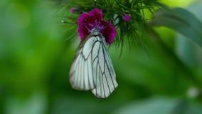 Black veined white butterfly. Aporia crataegi Black-veined white butterfly mating on Carnation flower stock video footage