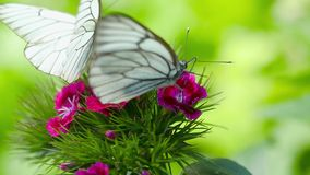 Black veined white butterfly. Aporia crataegi Black-veined white butterfly mating on Carnation flower stock video